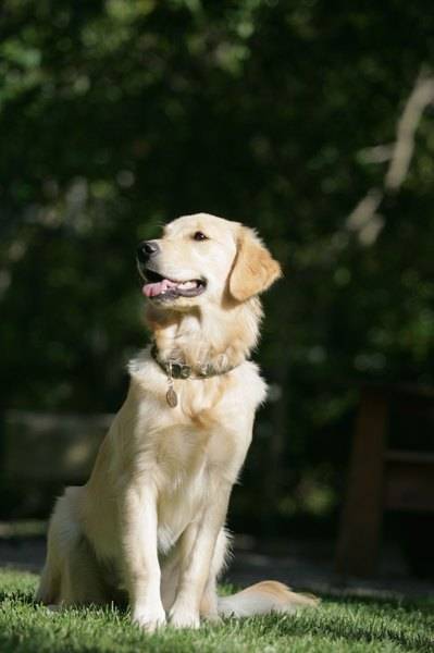 Labrador retrievers are medium-sized, strong animals with a pleasant temperament.