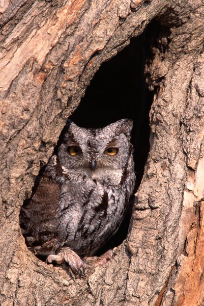 Screech owls often nest in old woodpecker holes.