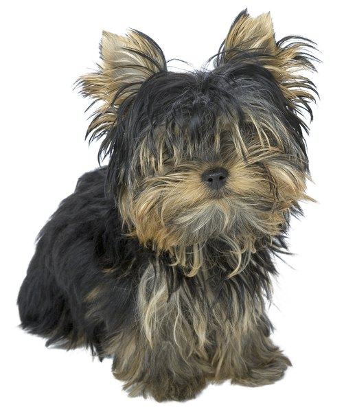Teacup Yorkies can grow long, shaggy hair if not regularly groomed.