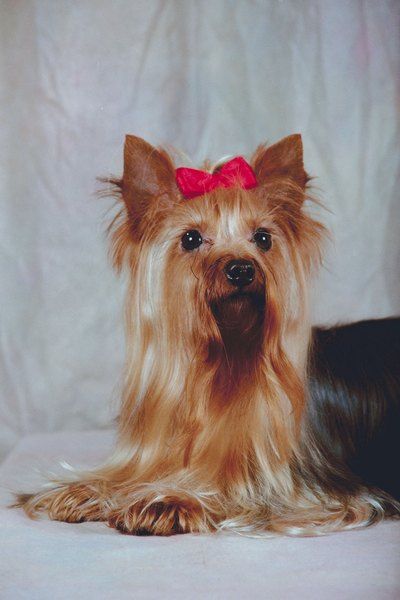 Are Cairn Terriers Silky Terriers A Lot Alike Dog Care Daily
