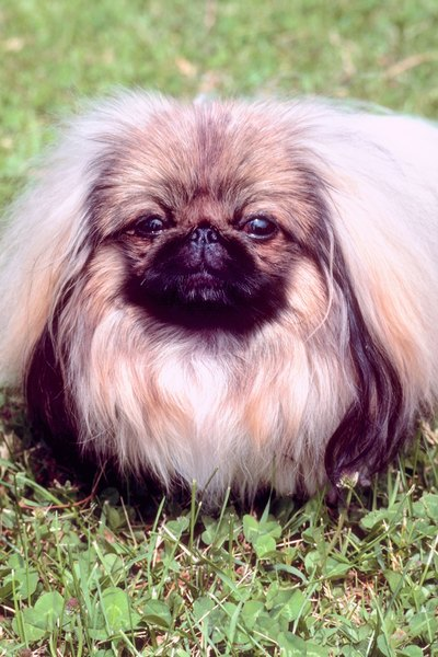 A Pekingese with a natural coat requires a lot of brushing.