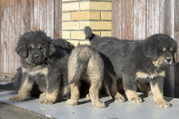 Tibetan mastiffs grow to be 24 to 29 inches tall at the withers.