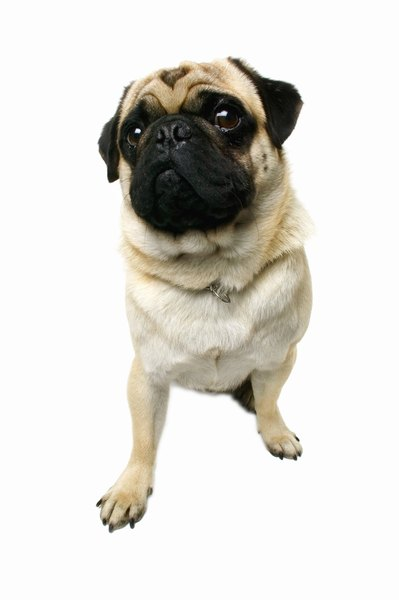 Brachycephalic breeds, such as the pug, are prone to corneal ulcers and other eye diseases.