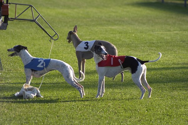 P Young Greyhound Trainer Training a Greyhound -...