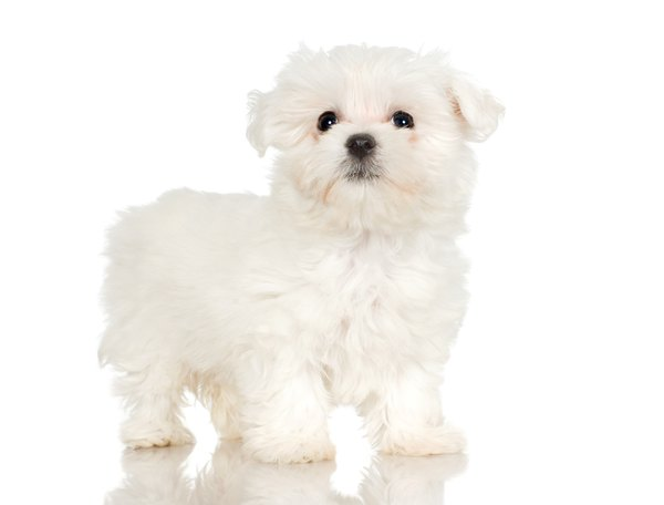 Short Haircuts For Maltese Dogs Pets
