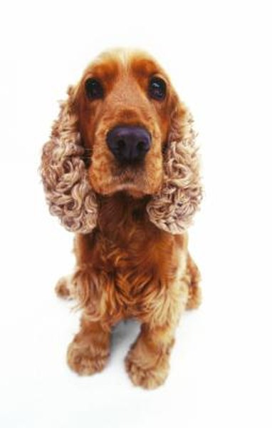 How to Care for an Adopted Adult Cocker Spaniel - Pets