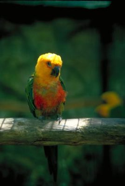 Amazon Parrot For Sale? Adopt an Amazon Parrot Instead!