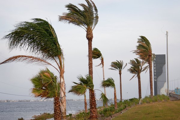 Wind from Hurricane Ike whips past palm trees September 12, 2008 in Galveston, Texas.