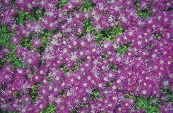 Flowering ground cover plants home guides sf gate mightylinksfo