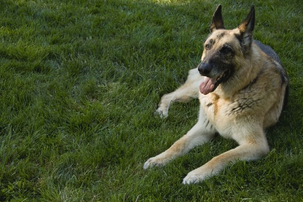 German shepherds suffer from anal fistulas more than other breeds.