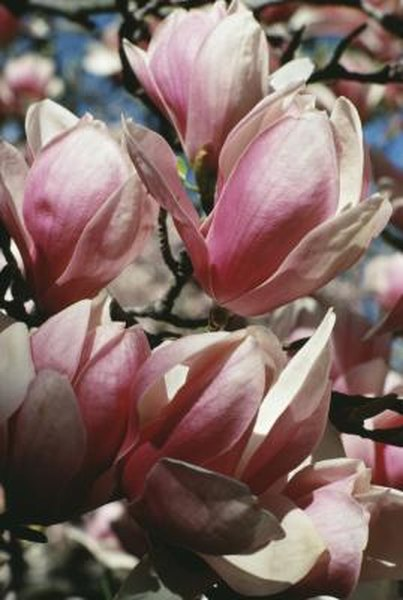 What Is The Magnolias Scientific Name Home Guides Sf Gate