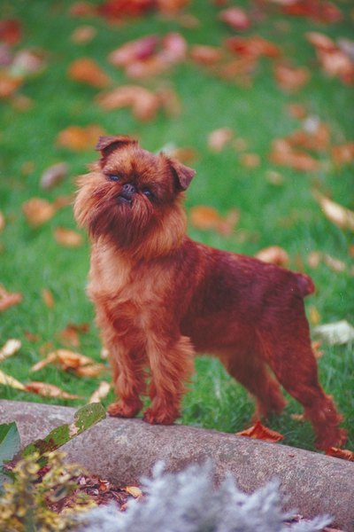 The Brussels Griffon toy dog is a tiny, energetic and sweet-natured dog.