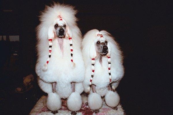 Poodle Haircut Styles Pets