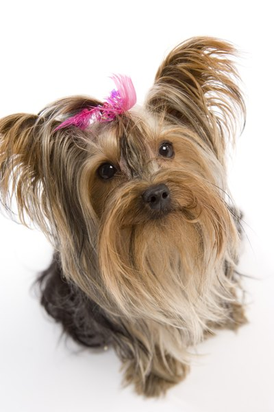 Yorkie owners have a wide array of hairstyles from which to choose for their pooch.