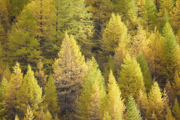 Larch trees changing colors in the autumn.