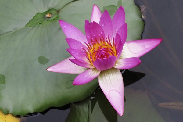 A close-up of a pink lotus flower in bloom.