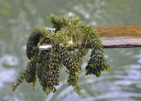 A person uses tree bark to collect a sample of curly pondweed.