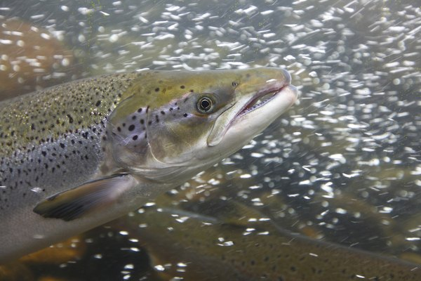 salmon can be found in tundra waters