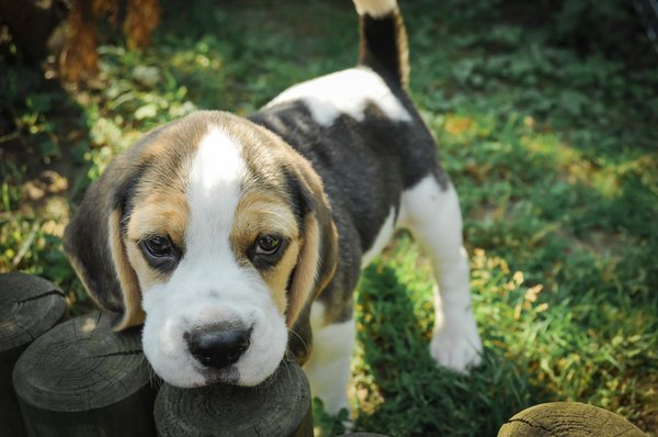 Beagles have irresistable expressive hound eyes.