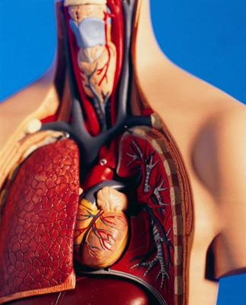 What Happens To The Circulatory System During Exercise Live Well