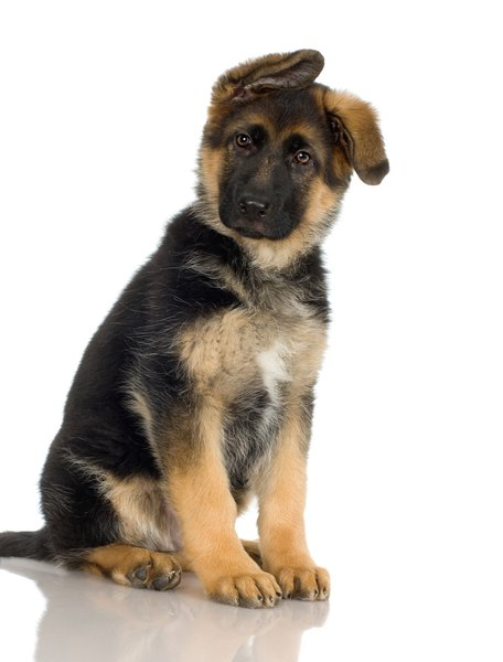 German shepherds are often 14 months old when they're adult food-ready.