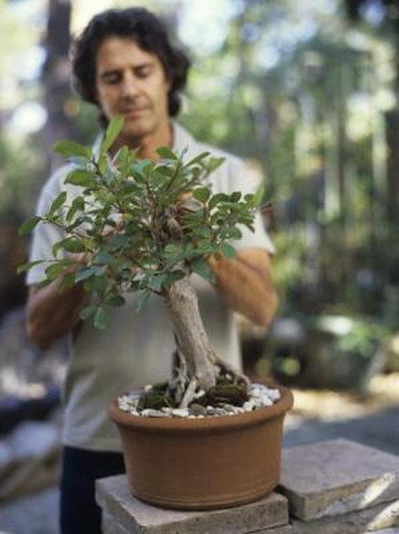 Astounding Ficus Or Fig Bonsai Tree Information Home Guides Sf Gate Wiring 101 Akebretraxxcnl