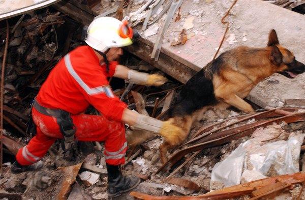 El pastor alemán en una tarea de rescate.