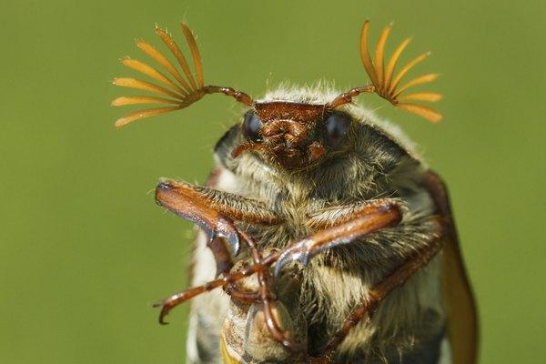 June bugs usually emerge around dusk.