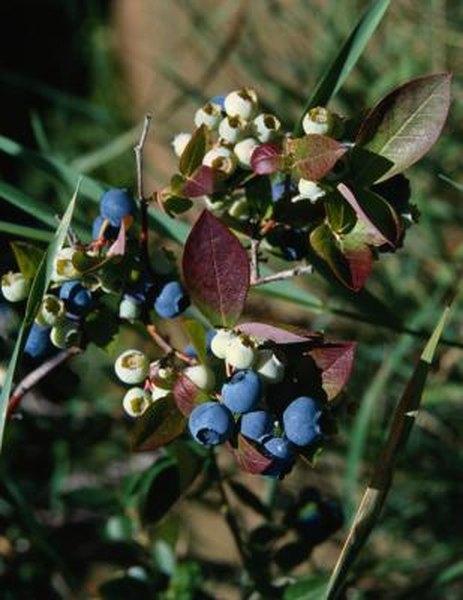 Types Of Mahonia Aquifolium Berberidaceae Home Guides Sf Gate