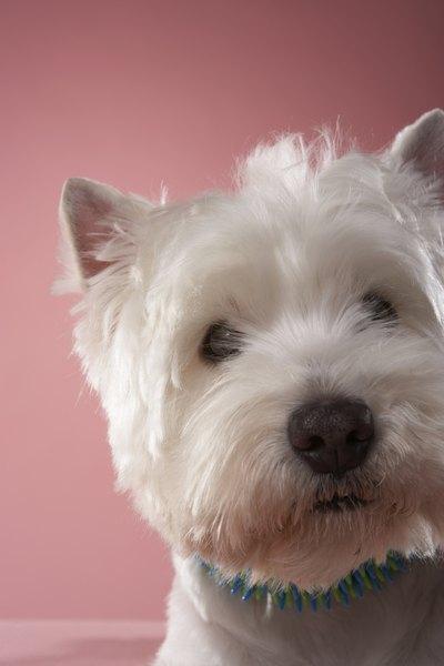 Westie Maltese Behavior Pets