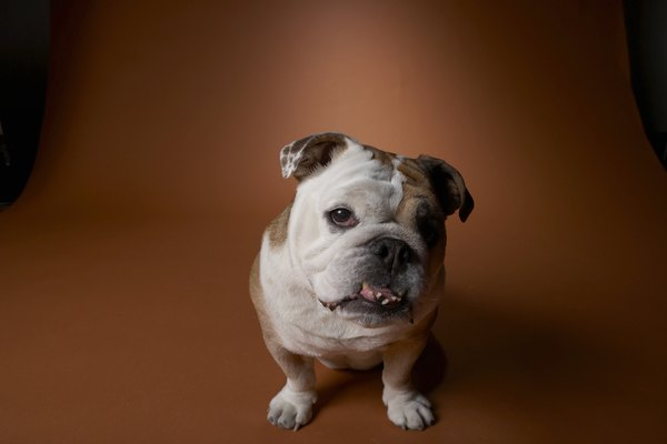 "He might not score a ""10"" on the breed standard, but if he's your bulldog, he's perfect."