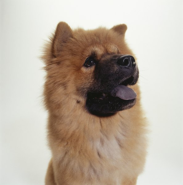 Chow chows grow to moderate size.