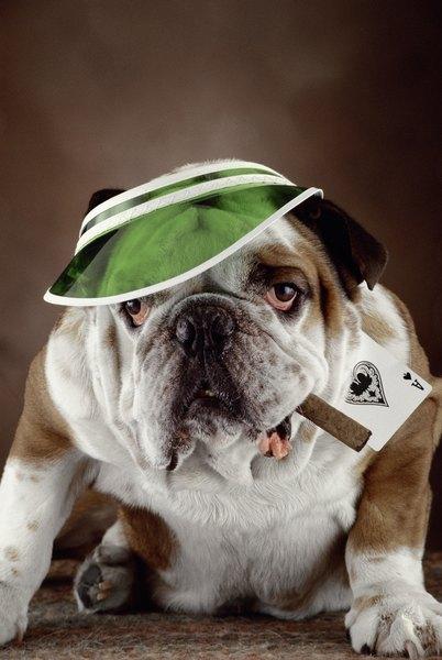 Stubborn English Bulldog ile ilgili görsel sonucu