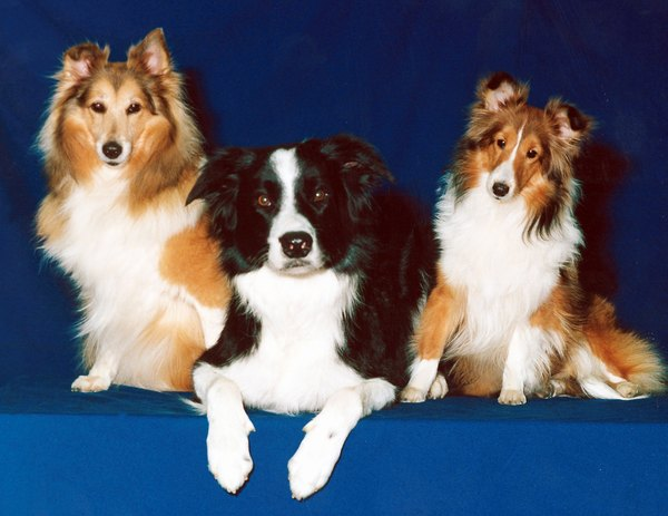 Shetland sheepdogs and border collies have heavy undercoats.