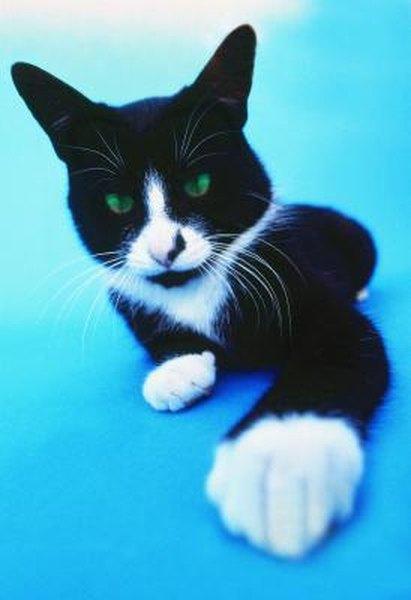 munchkin cat for sale in mankato mn