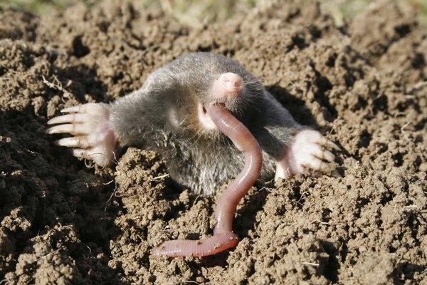 A mole eats an earthworm.