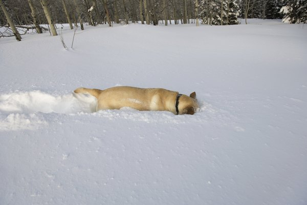 Your dog may be burrowing his way out of the snow.