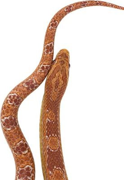 What Is the Average Size Clutch of a Corn Snake? | Animals