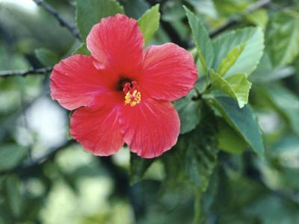 How Often Should A Hibiscus Shrub Potted Plant Be Watered In The Summer Home Guides Sf Gate