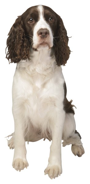 Springer spaniel xmas gifts for parents