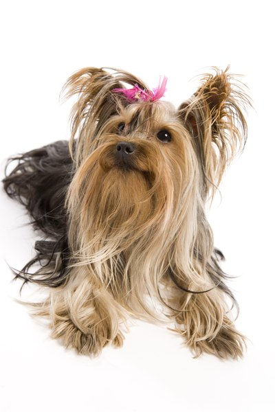 How To Know If Your Yorkie Has A Silk Coat Or Soft Coat Pets
