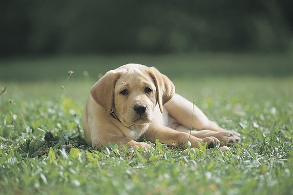 Your yard and Labrador puppy can coexist.