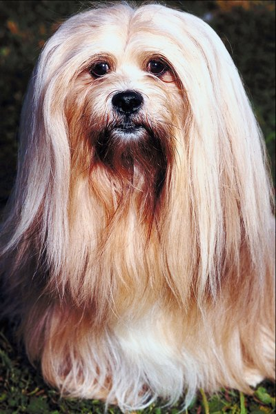 The Lhasa apso's eyelashes hold his long fur back from his eyes.