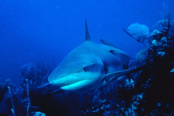 Sharks are deadly but their cartilage is thought to be a useful supplement.