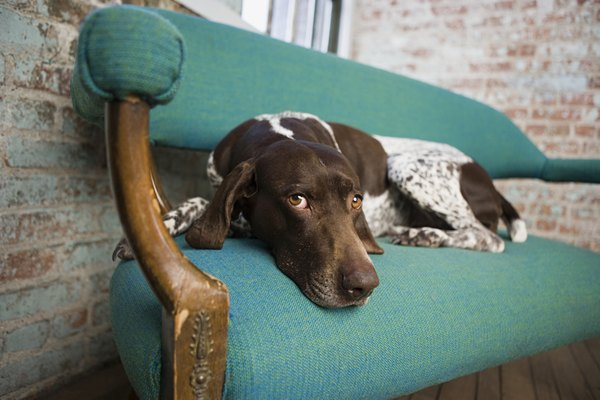 He's demonstrating that a German shorthaired pointer fits comfortably on a chair.