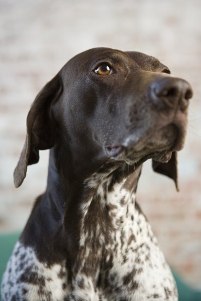 German shorthaired pointers are often dedicated, bright and mild-mannered pets.