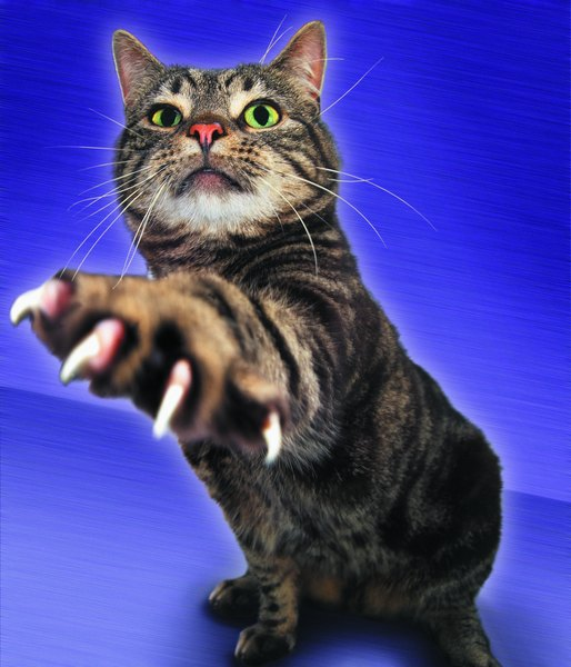 Do Cats Grow Their Nails Back? - Pets