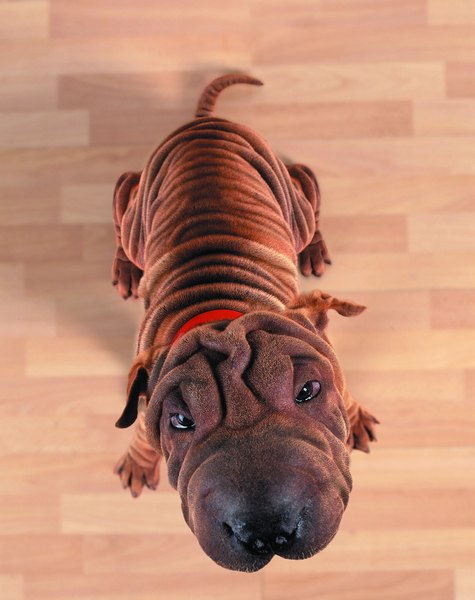 All those wrinkles might be cute, but they do require some special attention.