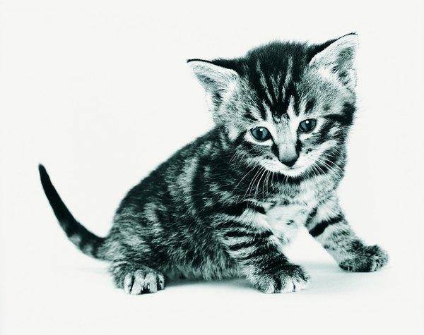 Vacuna a tu gato.