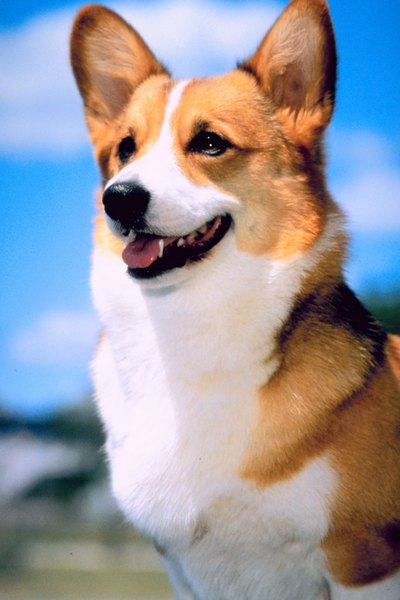 Corgis are alert and intelligent.